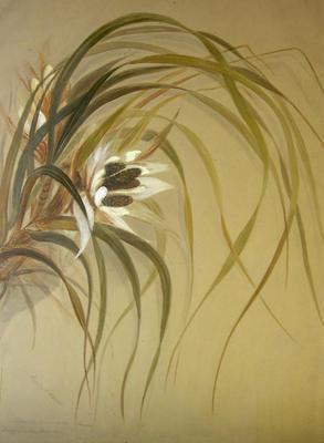 Ureure. Flower of the kiekie. Freycinetia Banksii