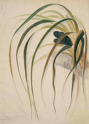 Ureure. Fruit of the kiekie. Freycinetia Banksii